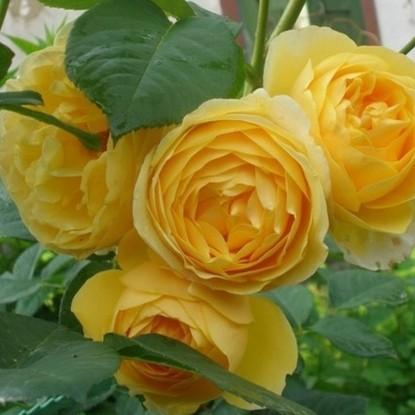 Роза Грэхам Томас