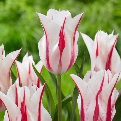 Тюльпан Мэрилин 15 штук