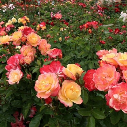 Роза Цыгане С2