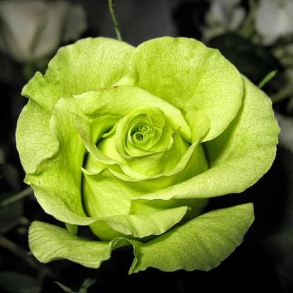 Роза Грин Планет