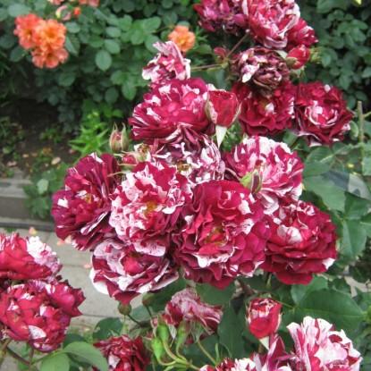 Роза Нью Имэйджин DORIEUX С2