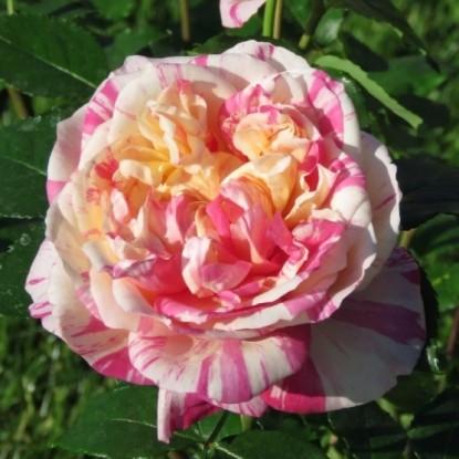 Роза Жюли Андрие