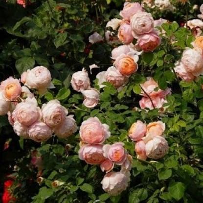 Роза Питер Пауль Рубенс VISSERS