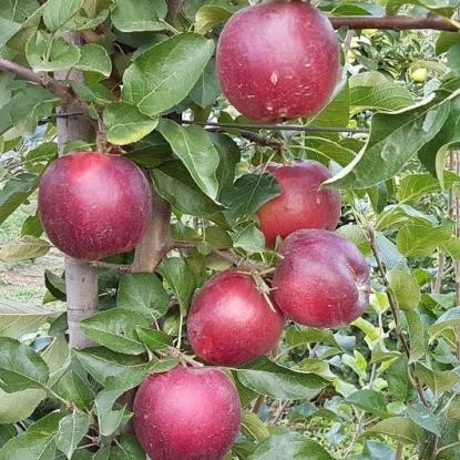 Яблоня Цивг 198