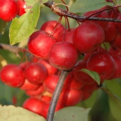 Яблоня Ола краснолистная