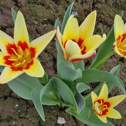 Тюльпан Корона