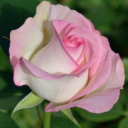 Роза Мунстоун WEEKS