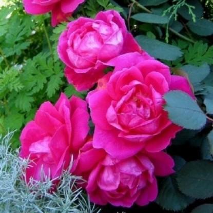 Роза Виннипег Паркс CANADIAN