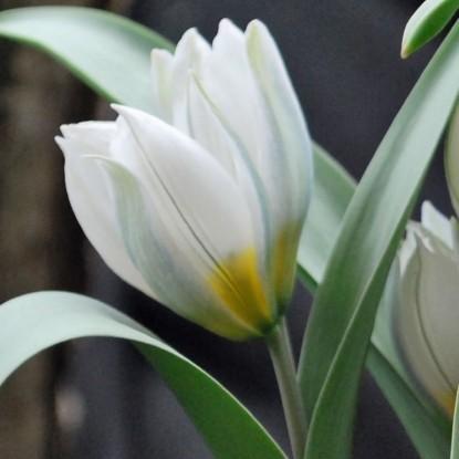Тюльпан Полихрома 25 штук