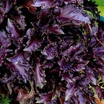Базилик Гранат фиолетовый
