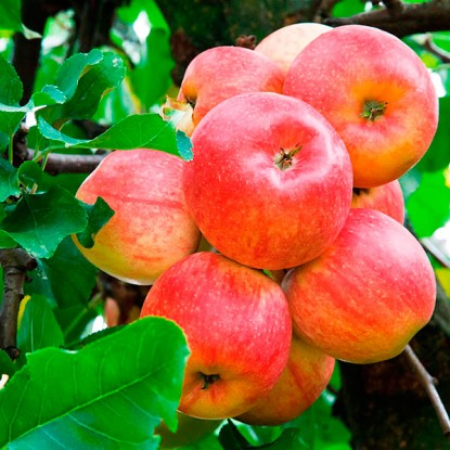 Яблоня Абрикосовое