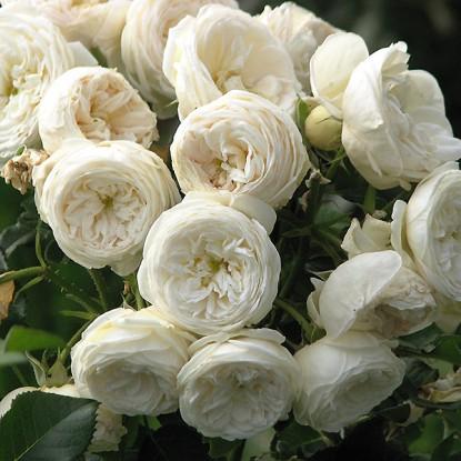 Роза Артемис