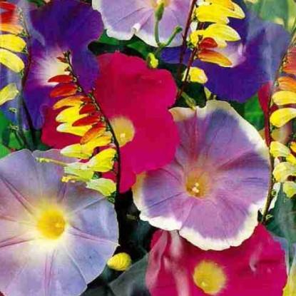 Ипомея Веселый садовник