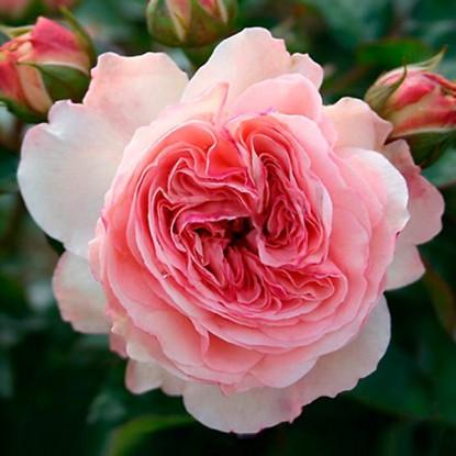 Роза Мариатерезия