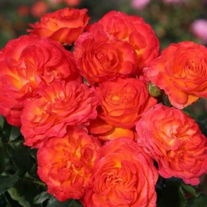 Роза Вулкано