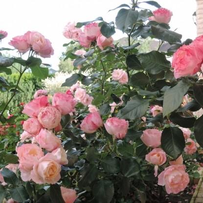 Роза Дольчецца BARNI