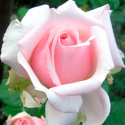 Роза Барбадос