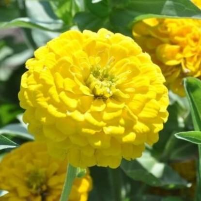 Цинния изящная Георгиноцветная Золотая заря