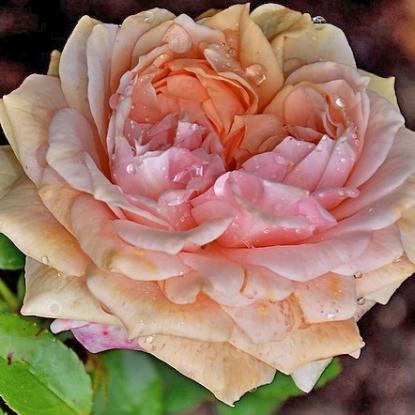 Роза Алхимик С2