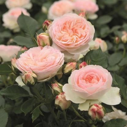 Роза Пастелла