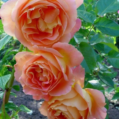 Роза Альпин Сансет