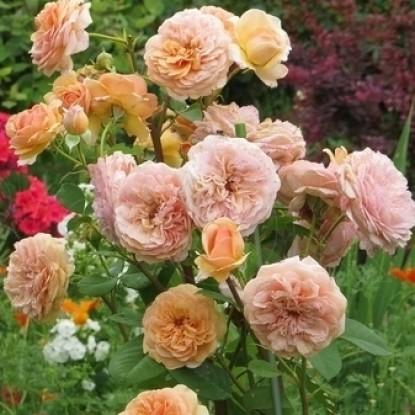 Роза Чарльз Остин штамбовая
