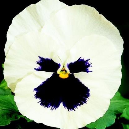 Виола виттрока Белая с глазком