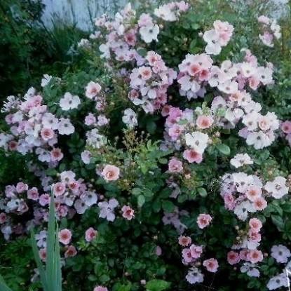 Роза Свит Хейз TANTAU