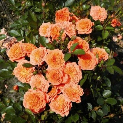 Роза Нинетта