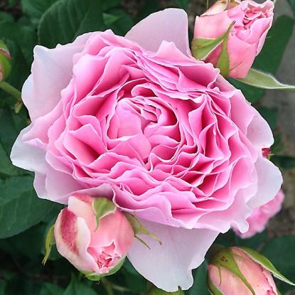 Роза Гартентрауме