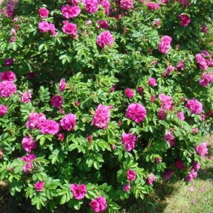 Роза Ханса