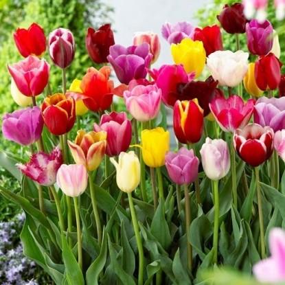 Тюльпаны Простые