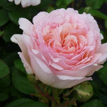 Роза Принцесса Шарлен де Монако