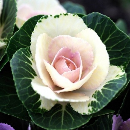 Капуста декоративная Белая роза F1