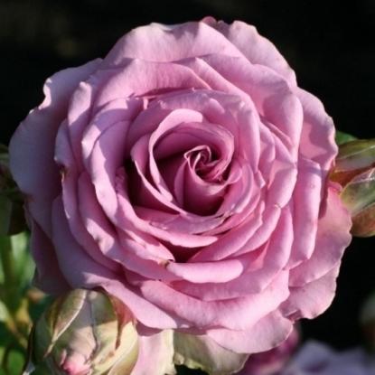 Роза Кул Вотер