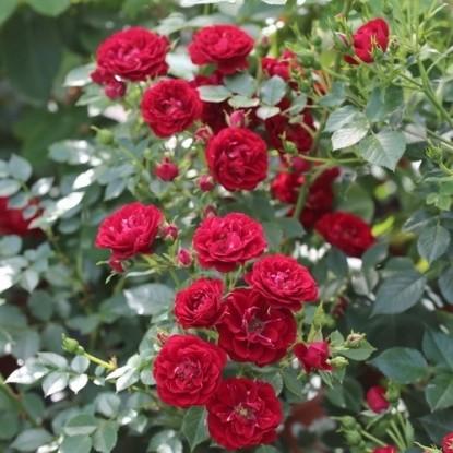 Роза Ниппер С2