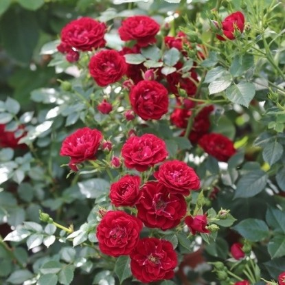 Роза Ниппер