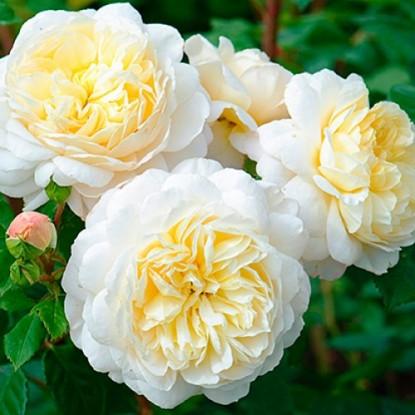 Роза Франсин Остин штамбовая