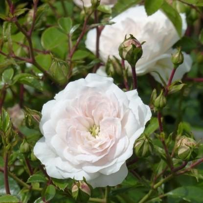 Роза Свони