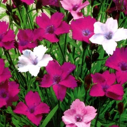 Гвоздика-травянка Пестрая Лужайка