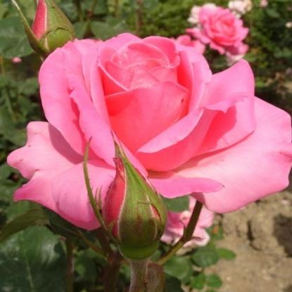 Роза Загадка (Чайно-гибридная, розовая)