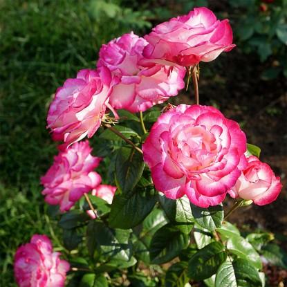 Роза Атлас