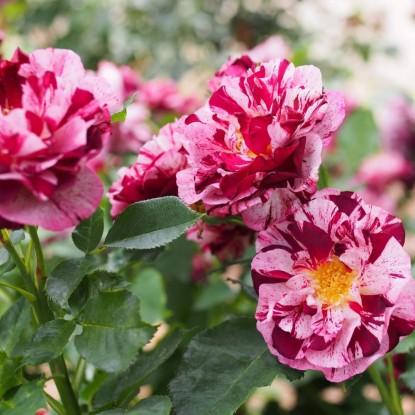 Роза Нью Имэйджин С2