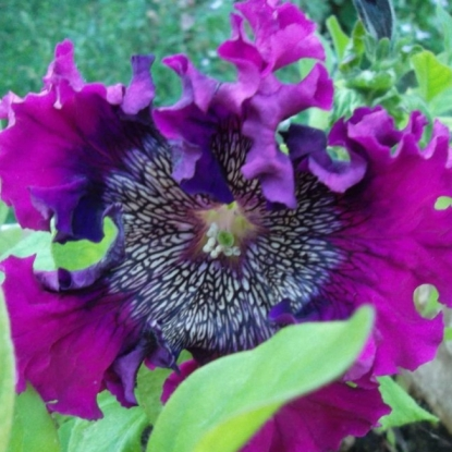 Петуния Титан пурпуровый бахр. (сер. Русский богатырь)