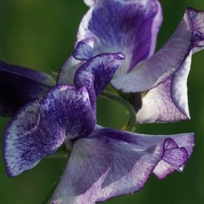 Горошек душистый Сиреневый дрозд (серия Сад ароматов)