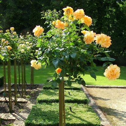 Роза Бернштайн роуз штамбовая