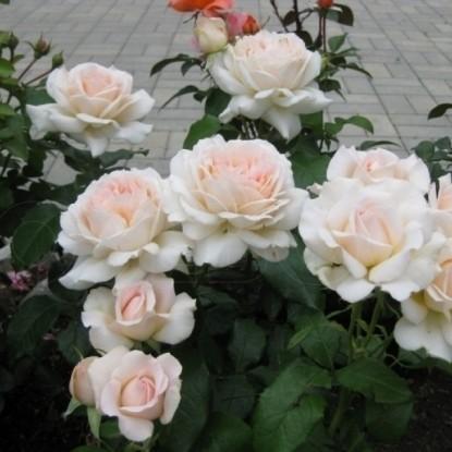 Роза Чандос Бьюти