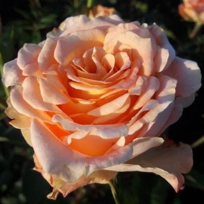 Роза Монинг Сан TANTAU
