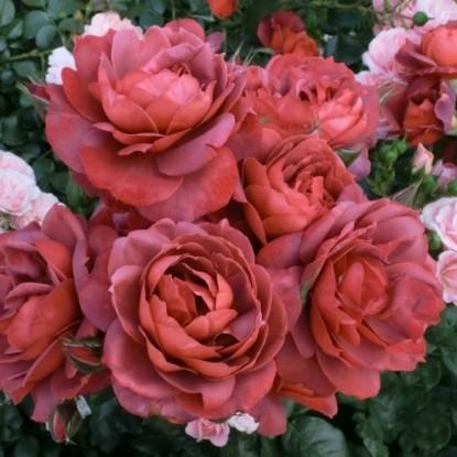 Роза Хот Кокоа BARNI