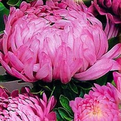 Астра Фламинго розовый пионовидная